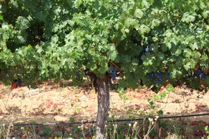 Grapes ready for harvest at Bates Ranch Vineyard