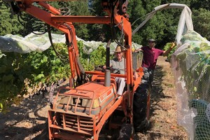 Netting the vines at Le Boeuf Vineyards